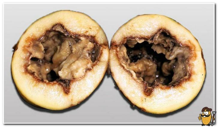 Черная-ножка-картофеля-Pectobacterium-carotovorum