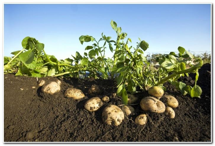 ботва картофеля ривьера
