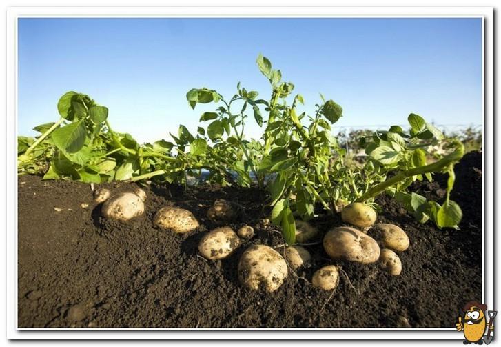 особенности выращивания картофеля ривьера