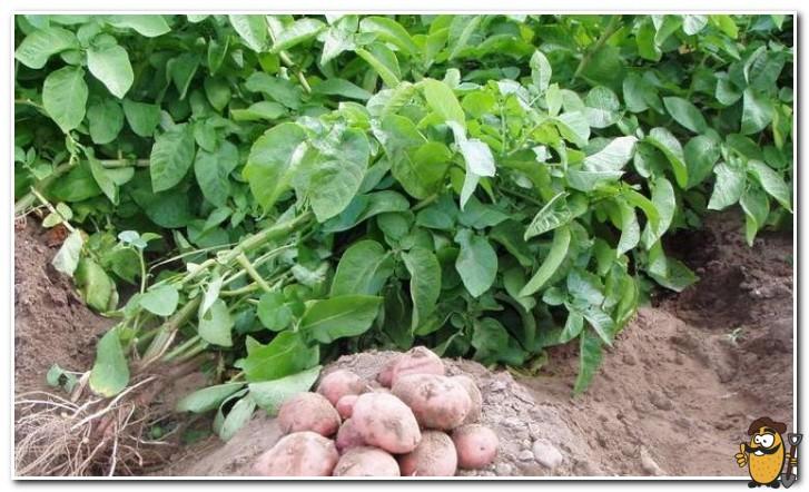 ботва картофеля рокко