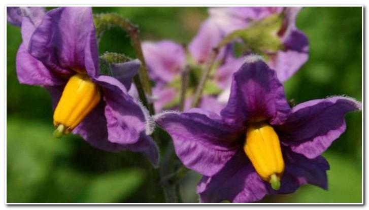 цветы фиолетового картофеля