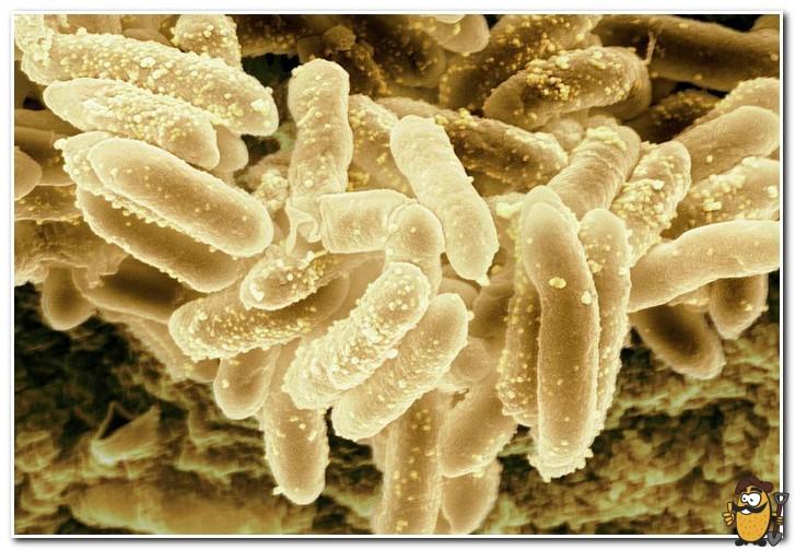 erwinia-bacteria