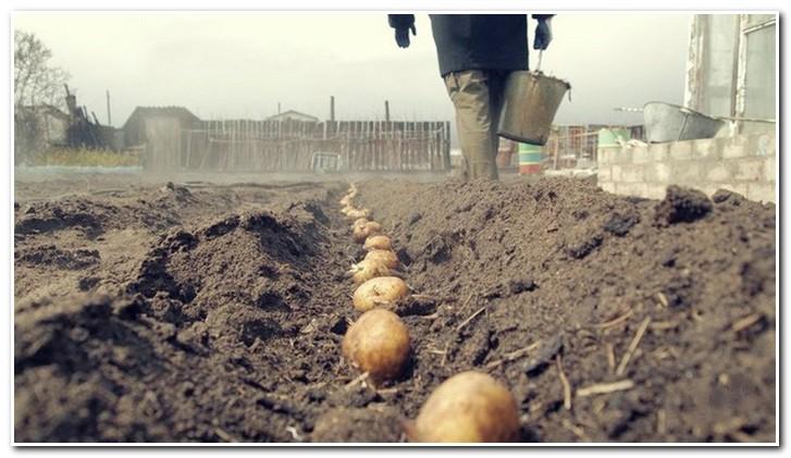 посадка картофеля сынок
