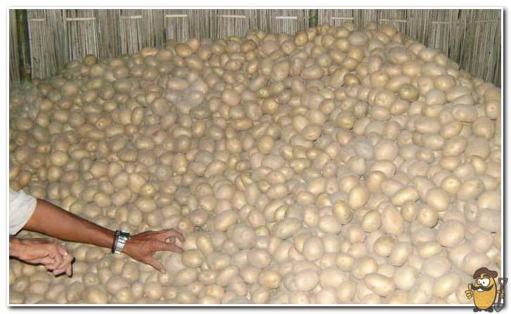 хранение картофеля ривьера