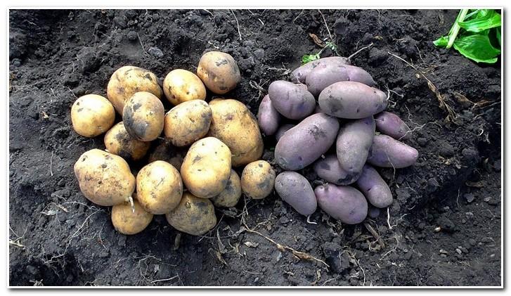 элитный картофель