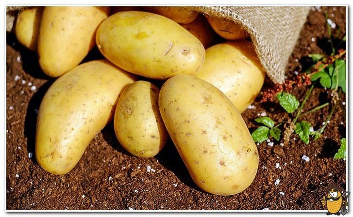 элитный семенной картофель