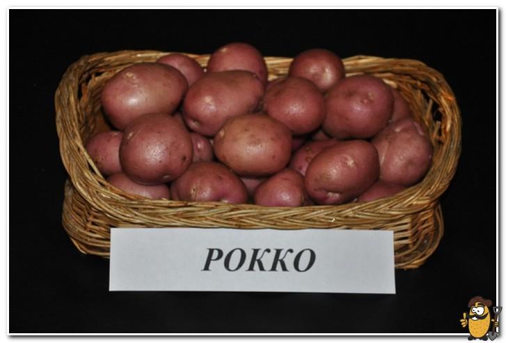 картофель рокко фото