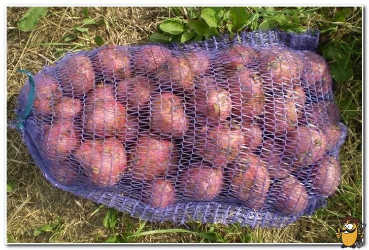 картофель рокко хранение