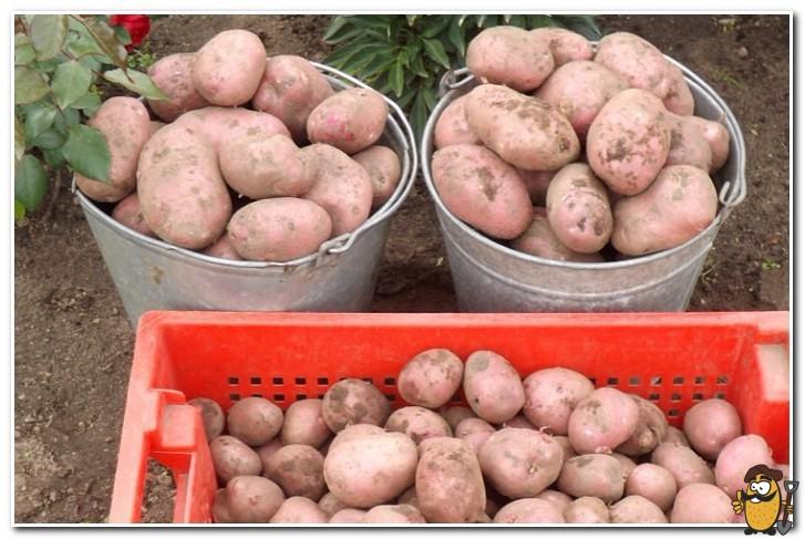 картофель рокко сбор урожая