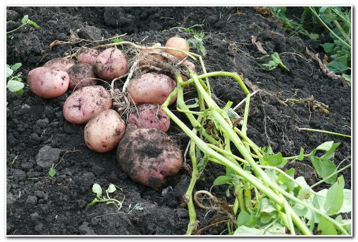 картофель романо сбор