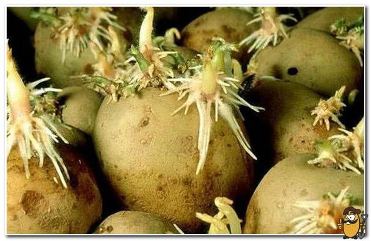 картофель санте проращивание