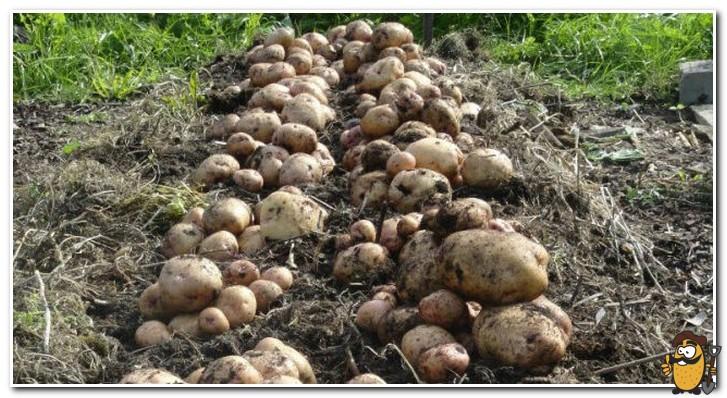 уборка картофеля синеглазка