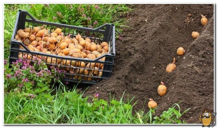 посадка картофеля ривьера