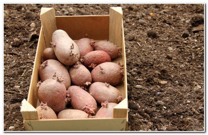 проращивание картофеля романо