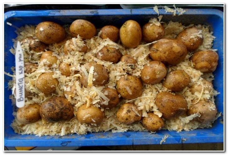 проращивание картофеля в опилках