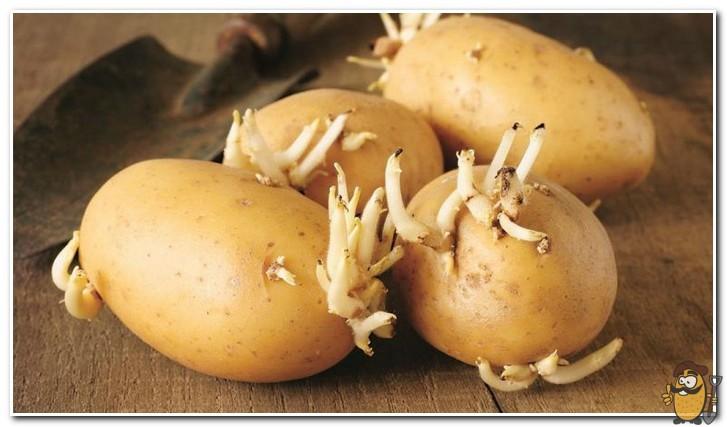 проращивание картофеля ривьера