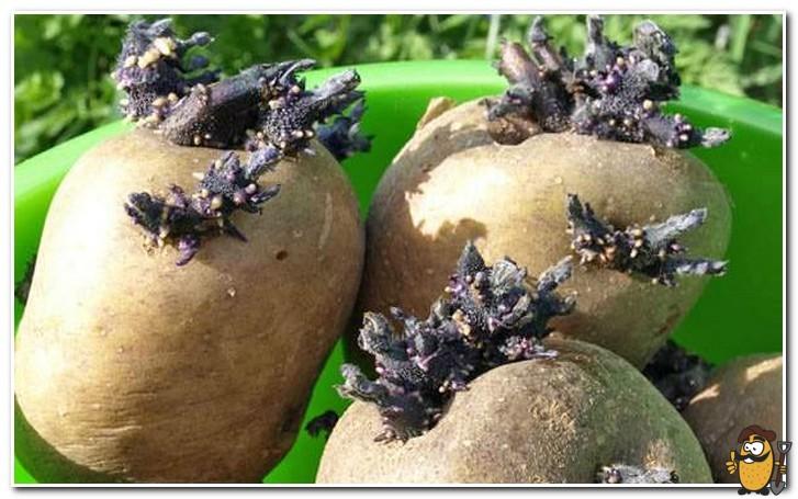proroshchennyy-kartofel-sineglazka
