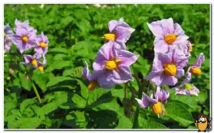 цветки картофеля синеглазка