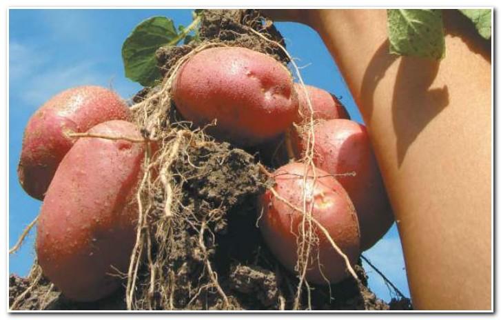 урожай картофеля романо