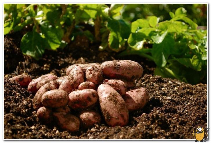 выращивание картофеля в ленинградской области