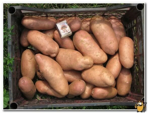 хранение картофеля лапоть