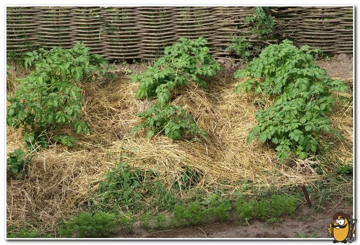 картофель под травой