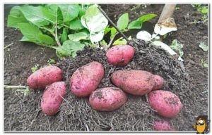kartofel-red-skarlet