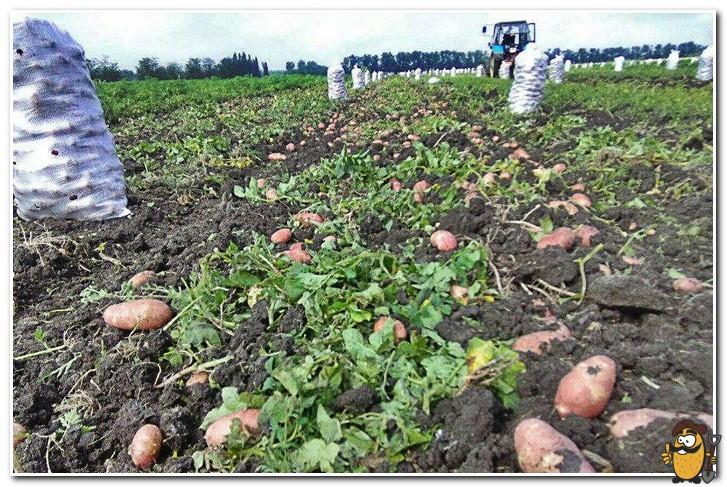 сбор картофеля ред скарлетт