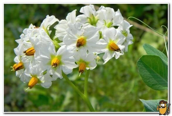 цветки картофеля белые