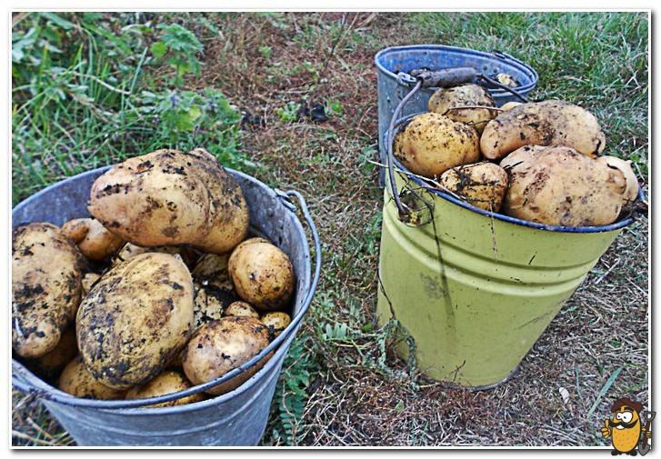 урожай картошки под сеном