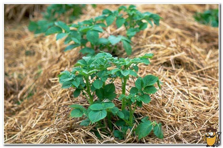 выращивание картофеля под травой