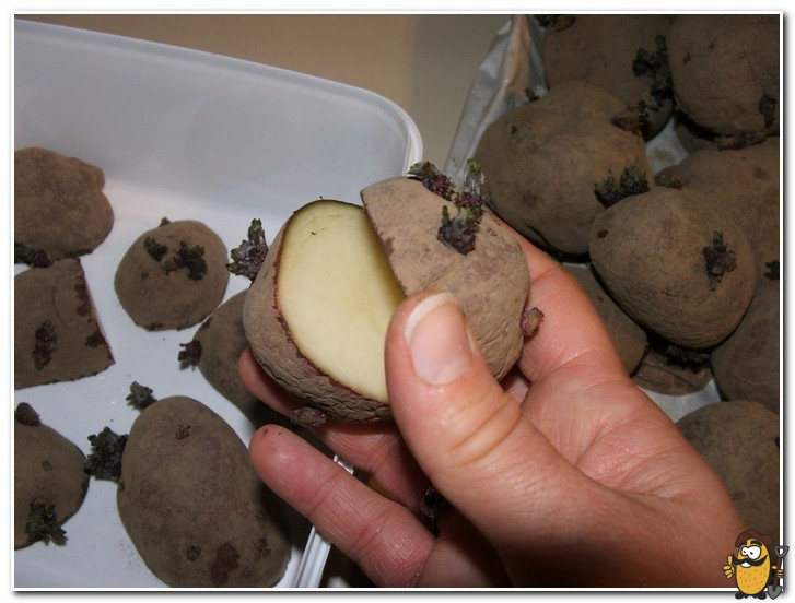 narezka-klubney-kartofelya