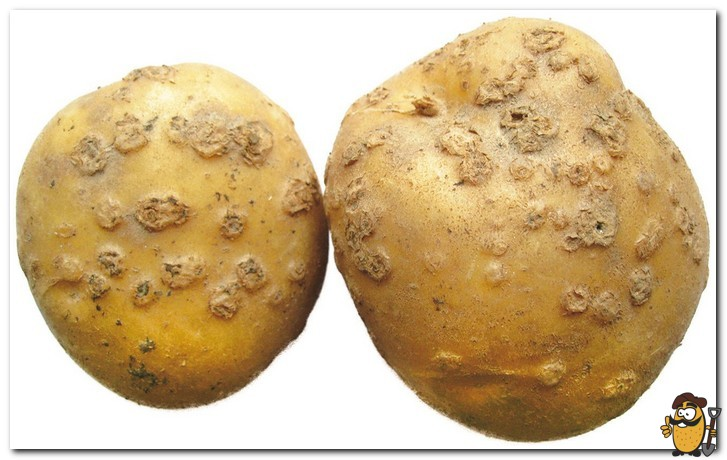 парша картофеля
