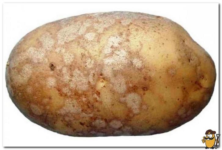 серебристая парша картофеля