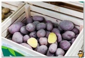 хранение картофеля черный принц