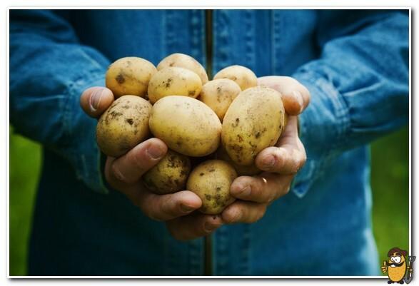 клубни картофеля коломбо