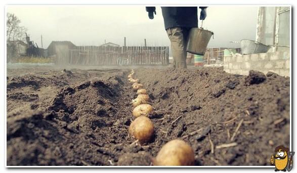 посадка картофеля коломбо
