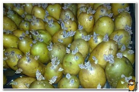 проросший зеленый картофель