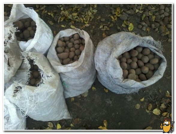 хранение кормового картофеля