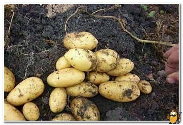 картошка янка
