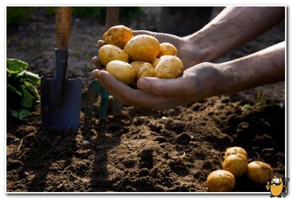 посадка картошки под зиму