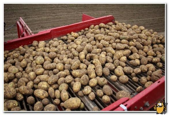 сбор картофеля янка