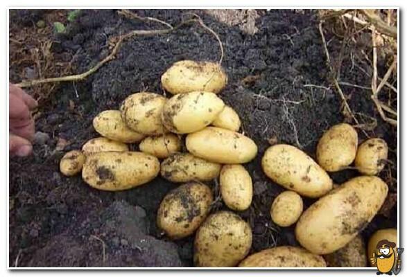 kartofel-koroleva-anna