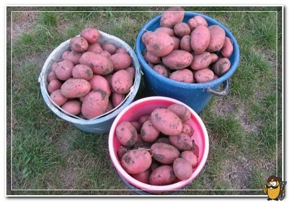 Сорт-картофеля-Алладин