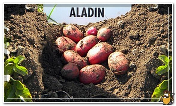 картофель aladin