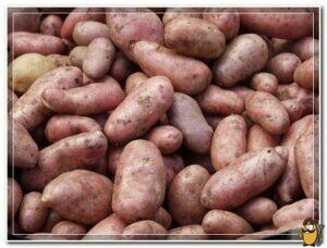 картофель сорта тирас