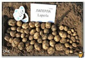 сорт картофеля лаперла