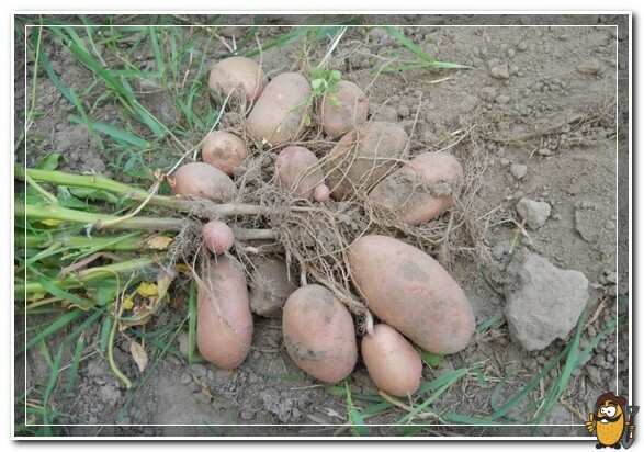 тирас картошка