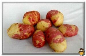 kartofel-ivan-da-marya