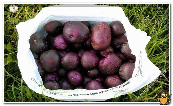 картошка цыганка